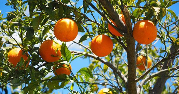 AGRICOLTURA - Potatura verde agrumi, no a stop contributi