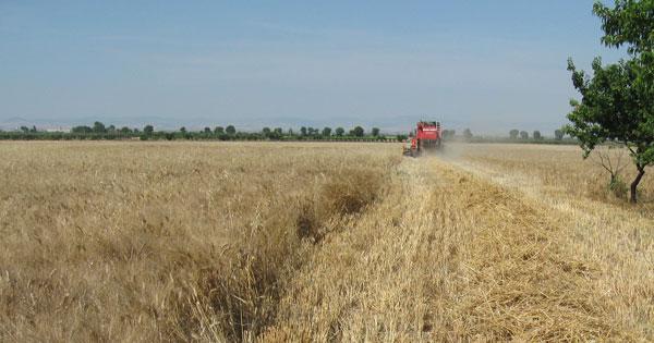 AGRICOLTURA - Grani antichi, arriva la tutela per il Russello ibleo