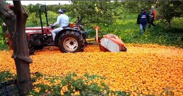CONTROLLI AGROALIMENTARI - Distrutti i 20mila chili limoni turchi sequestrati